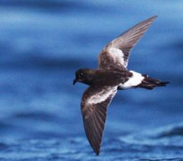 This tiny black and white seabird is believed to be new to science. Photo credit Peter Harrison. [wildlifeextra.com]