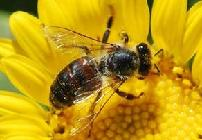 Mysterious decline of honeybee