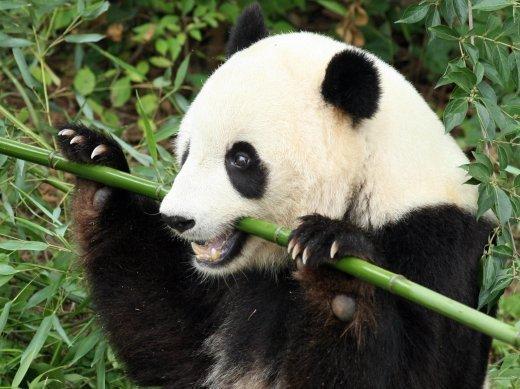 Panda food supplies may be in peril sw china