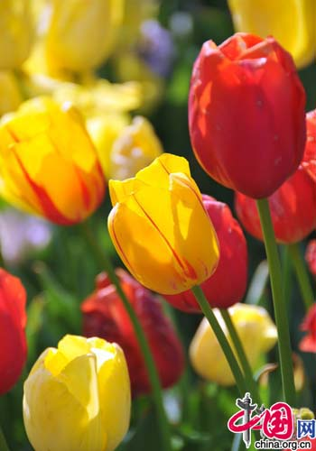 Top 10 spring flowers to see in beijing china tulip one of the top 10 spring flowers to see in beijing by mightylinksfo