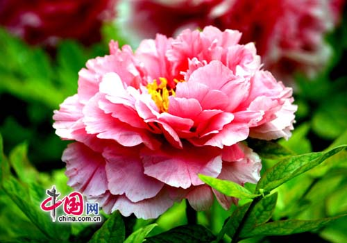 Top 10 spring flowers to see in beijing china peony one of the top 10 spring flowers to see in beijing by mightylinksfo