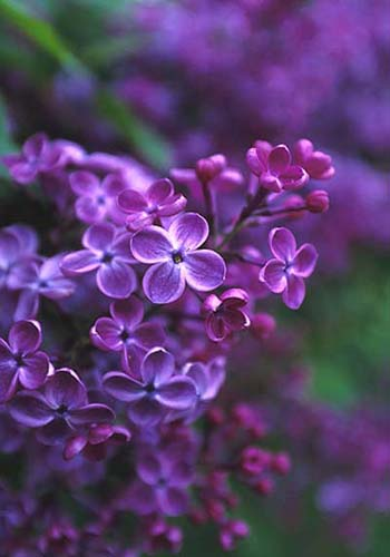 Top 10 spring flowers to see in beijing china lilac one of the top 10 spring flowers to see in beijing by mightylinksfo