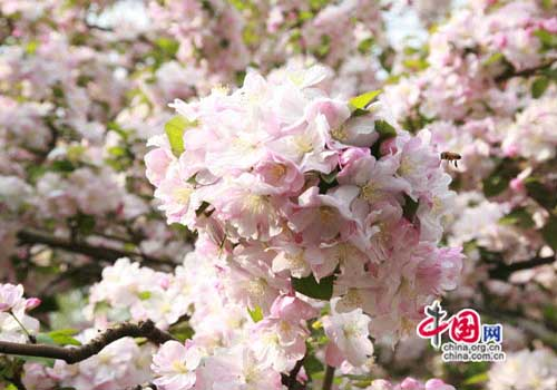 Top 10 spring flowers to see in beijing china crab apple flower one of the top 10 spring flowers to see in mightylinksfo