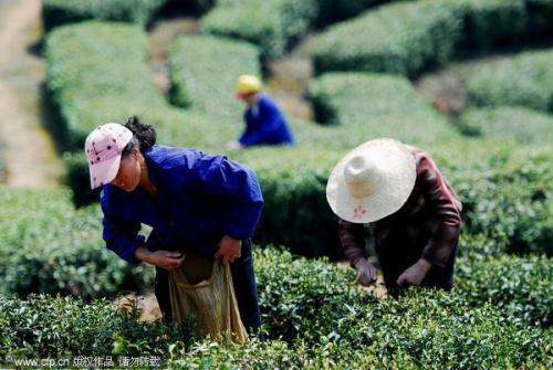 Collectors are collecting this year's tea at Lushan Mountain in Jiangxi province.