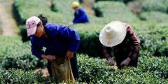 Spring tea debut postponed