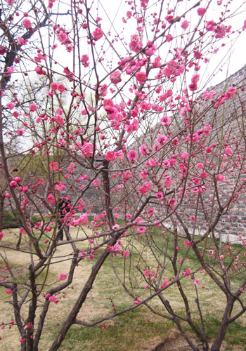 Plum Blossom Festival kicks off in Beijing