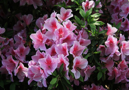 Nanjing Azalea Festival, one of the 'Top 10 April destinations in China' by China.org.cn