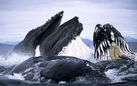 Several whales grunt and scream and all open their huge mouths to enjoy their feast. On average, one humpback eats around 5,000 pounds of plankton, krill and fish a day. The wildlife photographer Duncan Murrell, also named 'Whaleman', takes those amazing pictures. To capture images of humpback whales feeding and surging through the surf off Alaska, he often ventures within the giant, fearsome creatures. [chinanews.com.cn] 