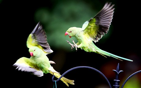 Parakeets on a bird feeder in a back garden in south London. It is feared they could push out native species of birds.