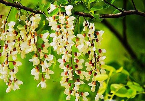 Dalian Sophora Japonica Festival, one of the 'Top 8 May destinations in China' by China.org.cn