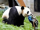 Wuhan: Panda Hope kills a peacock