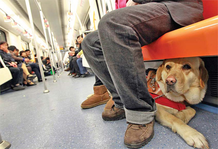 The 2-year-old guide dog Yile sits under a chair in a subway train in Shanghai on March 27. For the 26-year-old Xie Danling, a blind woman in the city, the Labrador retriever has become an indispensable member of her family.
