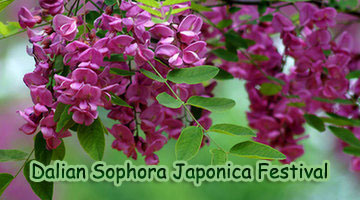 Sophora Japonica Festival in Dalian