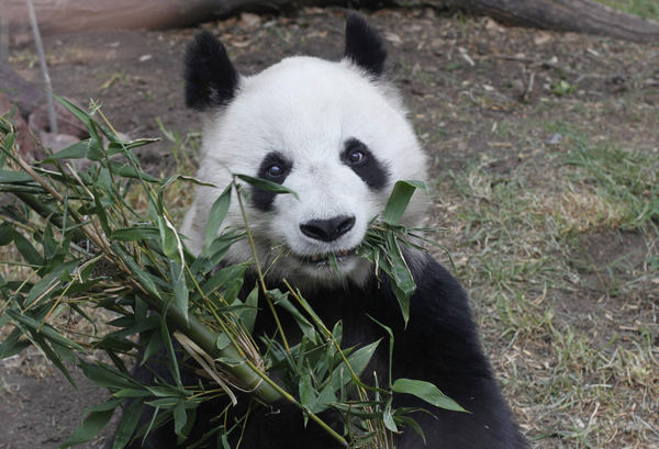 Giant panda to become a mother