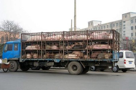 File photo: Pigs carried in a trailer