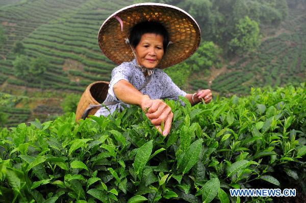 A farmer picks summer tea in a tea plantation in Zhaoping County, southwest China's Guangxi Zhuang Autonomous Region, July 10, 2011. Tea farmers in Zhaoping were busy harvesting in some 6,600 hectares of tea plantation recently. [Xinhua/Huang Xuhu]
