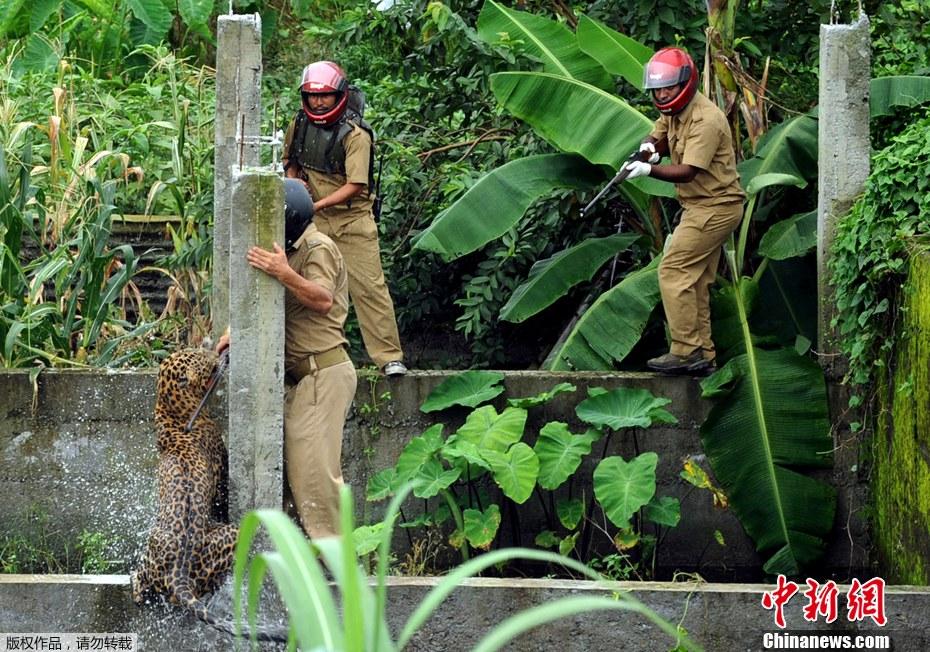 leopard attacks forest guards in india chinaorgcn