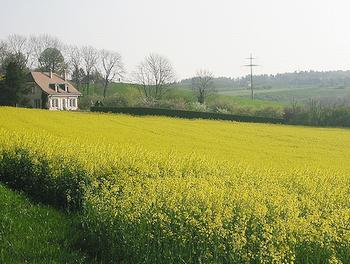 Rapeseed, a biofuel crop [File photo]
