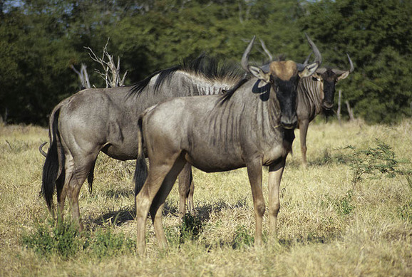 Wildebeests, Botswana [File photo]