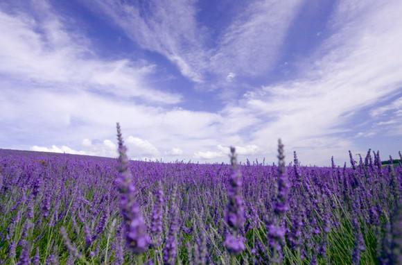 A lavender field.