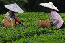 Farmers busy picking summer tea