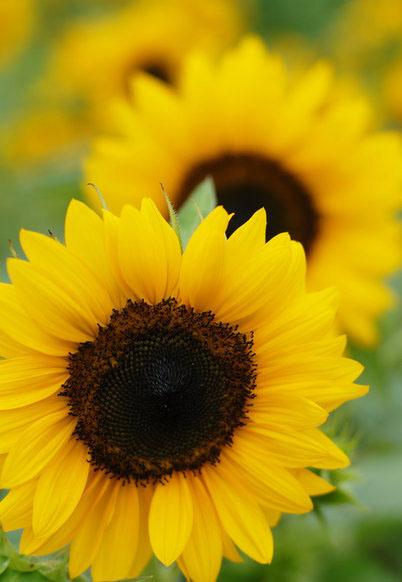 Amazing Scenery Of Sunflowers