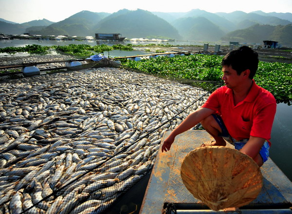 Fisher Zhang Jinping looks at dead fishes in the Minjiang River in Shuikou Township of Gutian County in southeast China's Fujian Province, Sept. 3, 2011.