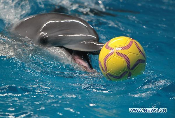 A dolphin takes part in an aquatic football match at the Hefei Aquarium in Hefei, capital of east China's Anhui Province, July 8, 2010. [File Photo]