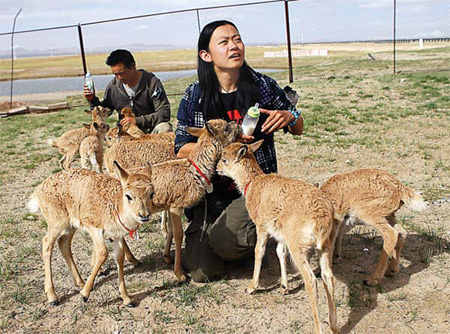 Volunteers Zhang Fan (R) and Zhang Yongfei feed antelope in Hoh Xil National Nature Reserve in Qinghai province on July 25. [China Daily]