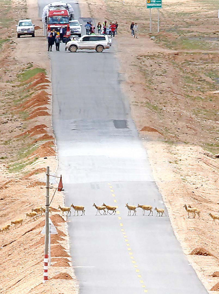 Volunteers stop traffic on the Qinghai-Tibet Highway to form a passage through which antelope can cross the pavement. [China Daily]