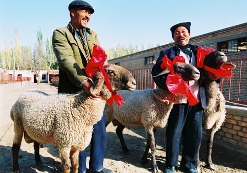 File photo: The Dolan sheep bred in Xinjiang's Kashgar City have become the latest collectors' item for ultra-rich Chinese.
