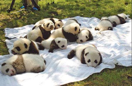 Newborn panda cubs at the Chengdu Research Base of Giant Panda Breeding in Southwest China's Sichuan province play in an open field on Tuesday. [China Daily]