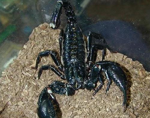 Biggest scorpion in the world - photo#9