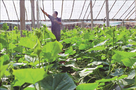 Fan Jiude cares for the cucumbers in his greenhouse that bring in 40,000 to 50,000 yuan every year. [China Daily]