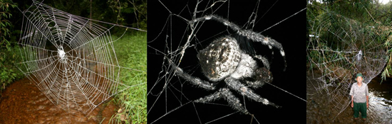 Darwin's Bark Spider, one of the 'top 10 new species 2011' by China.org.cn.