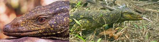 Monitor Lizard, one of the 'top 10 new species 2011' by China.org.cn.