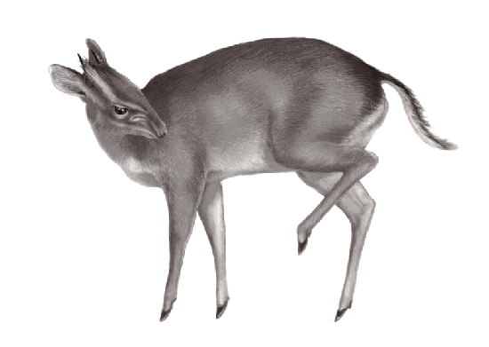 Duiker, one of the 'top 10 new species 2011' by China.org.cn.