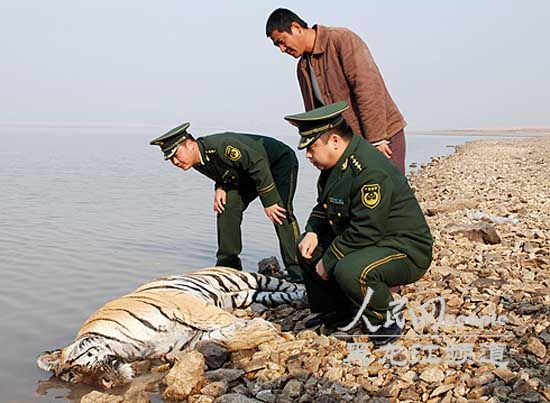 Illegally reared Siberian Tiger leaps to death in China, officials suspended