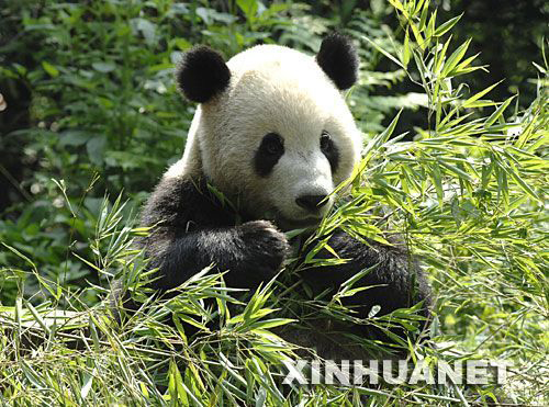 Sichuan Bifengxia Panda Breeding Base, one of the 'top 10 panda habitats in China' by China.org.cn.