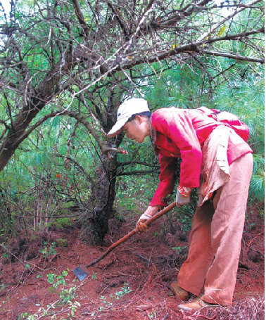 A villager from Gaoshitou hunts for truffles with an iron hoe. The soil has been dug so many times that the roots of some pine trees, which are part of the reproduction process, are exposed.