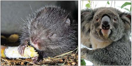 A bamboo rat (left) and a koala. [File photo]