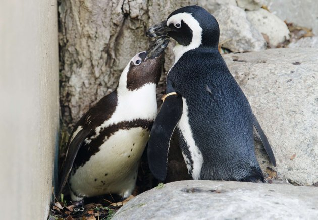 Two male African penguins who formed a bond at the Toronto Zoo are going to be separated and paired with females for breeding, according to news reports.[Agencies]