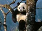 6 pandas move to semi-wild environment