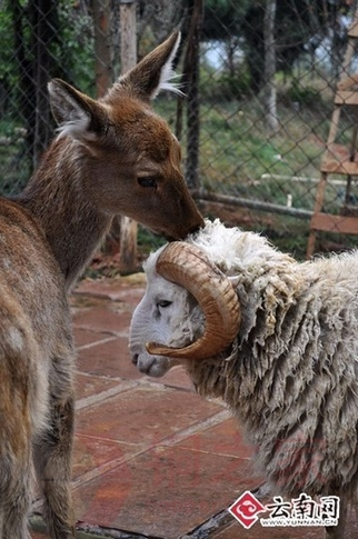 A Valentine's Day wedding will be held in a zoo in Kunming, southwest Yunnan Province where a sheep and a deer fell in love and drew great interest and blessing from many people.