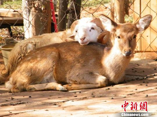 The male sheep Changmao (Long Hair) and the female deer Chunzi (Junko)