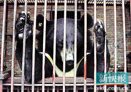 Years ago, bile bears were bred in cramped cages, and metal pipes were regularly inserted into their abdomens day and night. [xkb.com.cn]