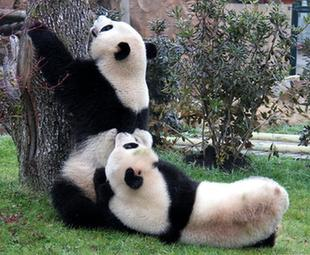Two giant pandas meet the public in France