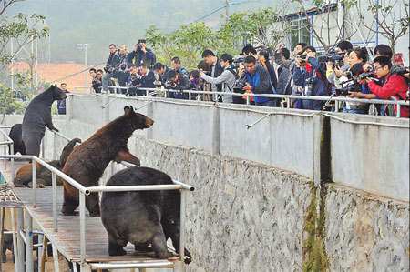 Reporters take photos of bears raised at the bear farm of Guizhentang Pharmaceutical in Hui'an, Fujian province, on Wednesday, when the farm was open to the media. [China Daily]