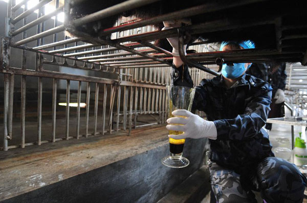 A staff member extracts bile from a live bear at a bear farm of Guizhentang Pharmaceutical Co. Ltd., which makes medicine by using bile extracted from live bears, in Hui'an, southeast China's Fujian Province, Feb. 22, 2012. [Wei Peiquan/Xinhua]