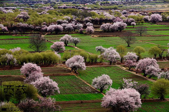 The picturesque spring scenery of Nyingchi Prefecture is often compared to that of southern Chinese cities. [Photo: Tibet Geographic]